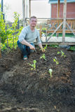 Man cultivates seedlings of cabbage. In the garden Royalty Free Stock Images