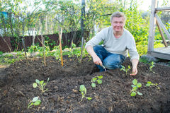 Man cultivates seedlings of cabbage. In the garden Stock Images
