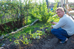 Man cultivates seedlings of tomatoes. In the garden Royalty Free Stock Photography