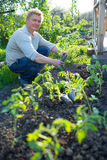 Man cultivates seedlings of tomatoes. In the garden Royalty Free Stock Photos