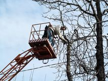A man cut-off a chestnut branch in the air  with chainsaw, and sawdusts fly around. People on a aerial device, bare branches of a. A men cut-off a chestnut royalty free stock photo