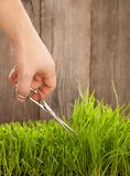 Man cuts grass for lawn with scissors, fresh cut lawn.  Royalty Free Stock Photography