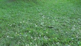 Man cuts lawn with retro manual lawnmower stock video