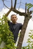 Man cuts off the dry branches of a tree in the garde Royalty Free Stock Photography