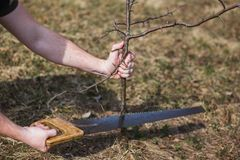 A man cuts a wild apple in the garden. Graft stock image