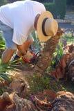 Man Cutting Down Palm Stock Image
