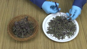 Man cutting dried oregano plants into the plate with scissors stock video
