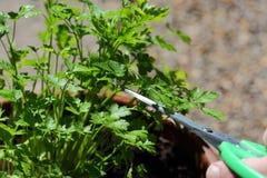 Man cutting a flat leaf parsley plant Royalty Free Stock Photos