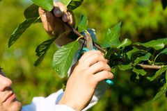 Man is cutting fruit tree with trimmer Stock Photo