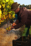 Man cutting green grapes in vineyard Stock Photo
