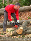 Man cutting oak log with chainsaw. Man cutting oak log into sections with chainsaw, with large tulip poplar trunk on ground in background Royalty Free Stock Photo