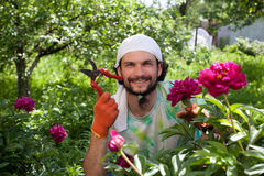 Man cutting the peony bush with secateurs Royalty Free Stock Image