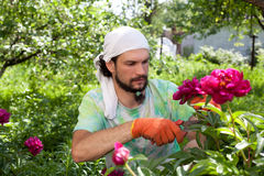 Man cutting the peony bush Stock Images