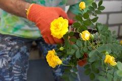 Man cutting the rose bush Royalty Free Stock Photo