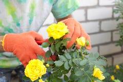 Man cutting the rose bush royalty free stock photography