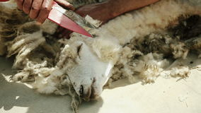 Man is cutting a sheep. Extracts fleece. For the spinning wheel. stock video