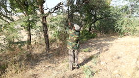 Man cutting tree branches for cattle on treetop at countryside in Jodhpur. stock footage