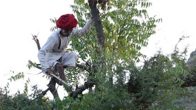 Man cutting tree branches for cattle on treetop at countryside in Jodhpur. stock video footage