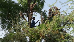 Man cutting tree branches on treetop at field in Jodhpur. stock video