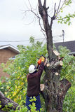 Man cutting tree. Man cutting down tall tree: landscaping business Royalty Free Stock Photo
