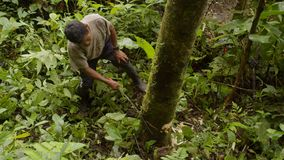 Man cutting tree in forest. Amazonian deforestation, man cutting down tree with saw in the amazon jungle in Ecuador stock video footage