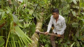 Man cutting tree in forest. Amazonian deforestation, man cutting tree log with axe in amazon forest in Ecuador stock video