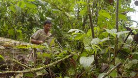 Man cutting tree in forest. Amazonian deforestation, man cutting tree log with saw in amazon forest in Ecuador stock video footage