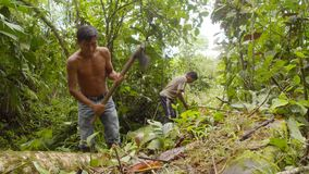 Man Cutting Tree In Forest. Amazonian Deforestation, Men Cutting Tree Log With Saw And Axe In Amazon Forest In Ecuador stock video footage