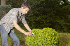 Man cutting and trimming box tree heart Stock Image