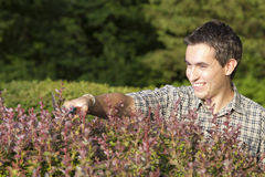 Man cutting and trimming hedges Stock Images