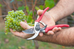 Man cutting white grapes in the vineyard Stock Image