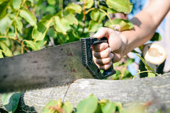 Man cutting a wood tree with a hand saw on green outdoors. Closeup Royalty Free Stock Image