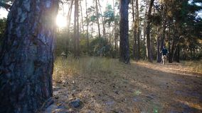 Man cyclist rides paths in the Pine Forest stock footage