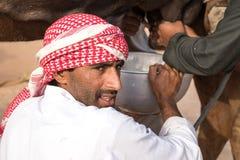 Man in a desert scarf milking a camel. Abu Dhabi, UAE - Dec 15, 2017: Man milking a black camel during Al Dhafra camel festival Stock Image