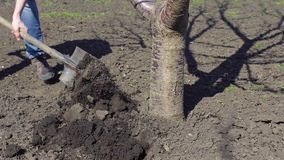 Man dig a tree in the spring use a shovel.  stock footage