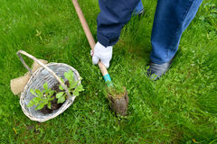 The man digs out a hole for planting of seedling of a daisy to the open ground Royalty Free Stock Image