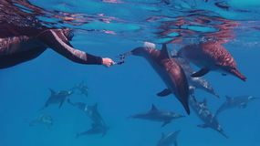 Man free diver capturing group of beautiful dolphins swimming near to him royalty free stock photos