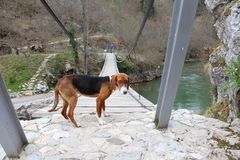 Man and dog on a wooden bridge royalty free stock images