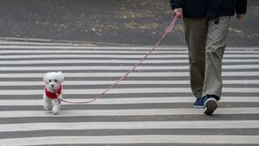 Man with a dog crossing the street, Dog walker crossing a street royalty free stock image