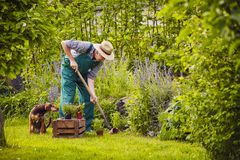 Man dog gardening work. Man working in the garden with dog Stock Images
