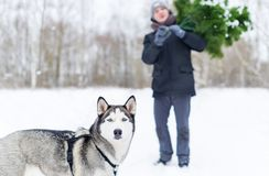 Man with dog in the hands of carries Christmas tree in the winter forest stock image