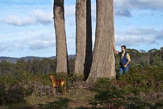 Man, dog and large eucalyptus trees Royalty Free Stock Image