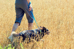 A man with a dog runs through the oat field Royalty Free Stock Image