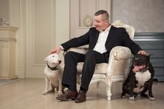 The man dog owner petting two dogs. Black pit bull or staphorshire terrier and white bulterrier are in the vintage interior. Dogs. Sitting on both sides of the Stock Image