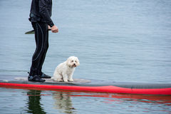 Man and dog  on paddle board Stock Photography