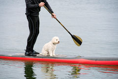 Man and dog on paddleboard. Man in wetsuit with white poodle on red paddleboard royalty free stock images