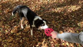 Man with dog in park. Man training a happy dog in the autumn park. Beautiful Australian shepherd puppy 10 months old enjoy playing with ball in a park an autumn stock footage