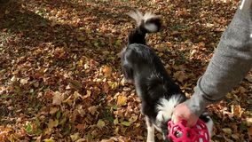 Man with dog in park. Man training a happy dog in the autumn park. Beautiful Australian shepherd puppy 10 months old enjoy playing with ball in a park an autumn stock video