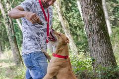 Man dog train pit bull stock photos