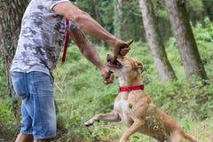 Man dog train pit bull stock photography
